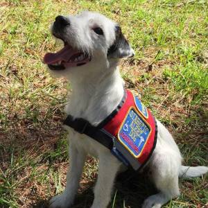 Riddock's Daughter, Thistle Ridge Hope, is being trained to be a Diabetic Alert Dog