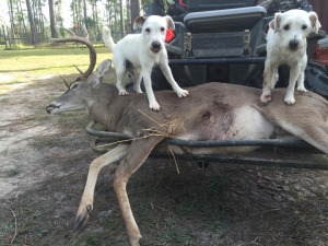 Riddock and Chigger helped recover this buck that was gut shot - the entire recovery was approximately 5 hours through swamps, woods, and across a road. The hunter said there was no way they would've been able to recover him without our dogs.