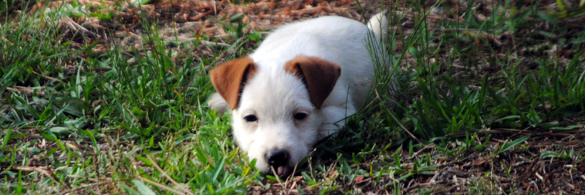 Thistle Ridge Terriers - Available Terriers
